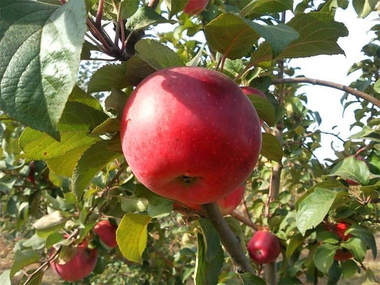 Яблоня флорина: описание и характеристики сорта, правила посадки и ухода