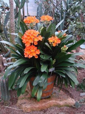 Кливия: размножение цветка и уход в домашних условиях, описание сортов и фото, приметы и суеверия, пересадка, грунт, почему не цветет?