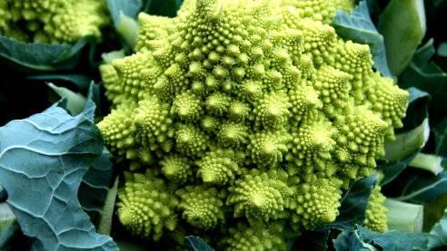 Чем отличается брокколи от цветной капусты: как отличить рассаду – белая и цветная (название, отличия) - умный врач