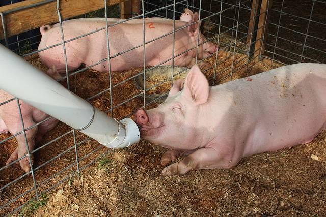 Особенности кормления супоросных свиноматок