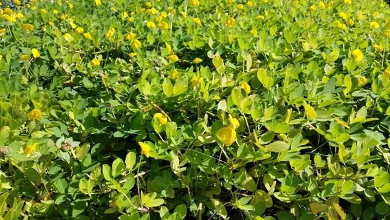Как растет арахис – над почвой или под ней, что является родиной происхождения земляного ореха, где выращивают и как выглядит на фото?