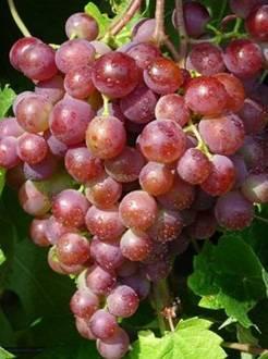 Сорта винограда русский ранний и русский фиолетовый: братья, но не близнецы
