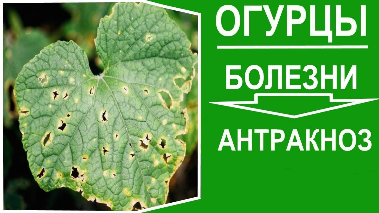 Распространённые болезни огурцов: профилактика и лечение