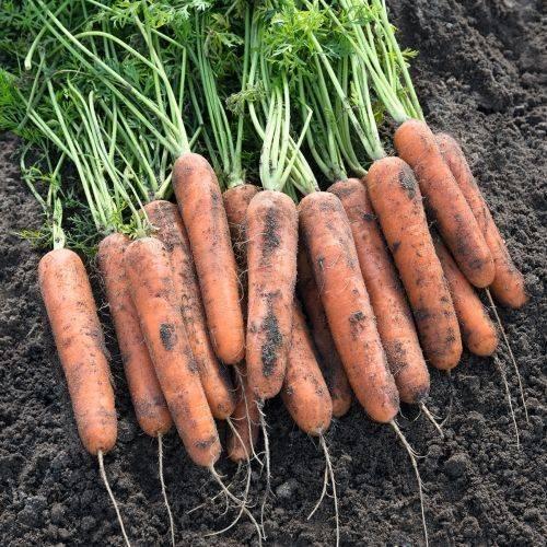 Морковь дордонь f1: отзывы, фото, урожайность.