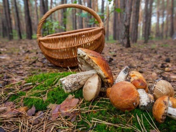 Какие грибы растут на востоке и западе Подмосковья