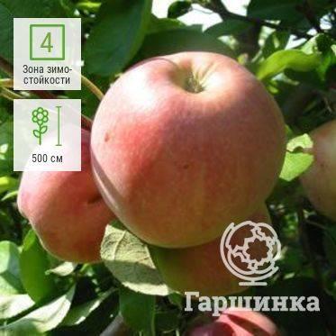 Яблоня июльское черненко: описание и характеристики сорта, выращивание, отзывы