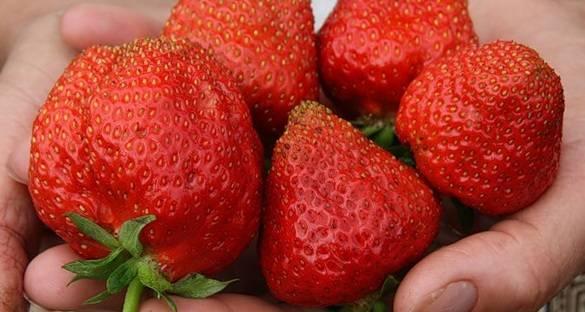 Земляника александрина: урожайность и выращивание из семян в домашних условиях