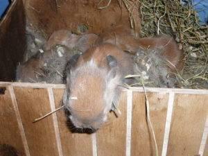 Крольчиха сделала гнездо и не рожает причины что делать - агро эксперт