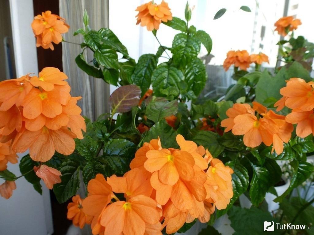 Кроссандра — тропическое растение в домашних условиях