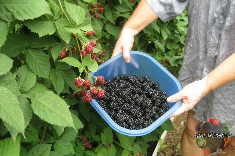 Ежевика натчез: обзор ежевики, характеристика, свойства и особенности ягоды (125 фото + видео)