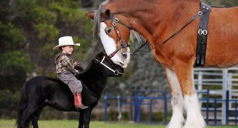 Самые сильные лошади в мире: породы тяжеловозов