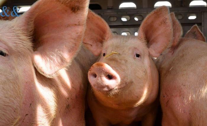 Как открыть ферму по разведению свиней