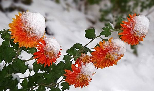 Как подготовить и правильно укрыть хризантему на зиму?