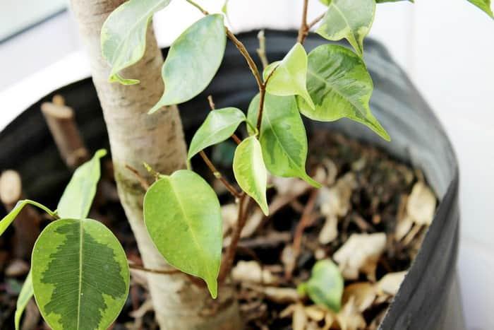Фикус бенджамина сбрасывает листья: причина и что делать, чтобы спасти растение и не дать ему погибнуть, почему сохнет и опадает молодая листва