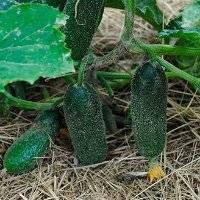 Огурец адам f1: характеристика и описание гибрида, выращивание и уход