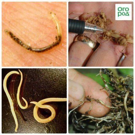Луковая нематода: описание, признаки стеблевого поражения, сорта, устойчивые к типу вредителя, профилактические меры, а также как избавиться от червей?