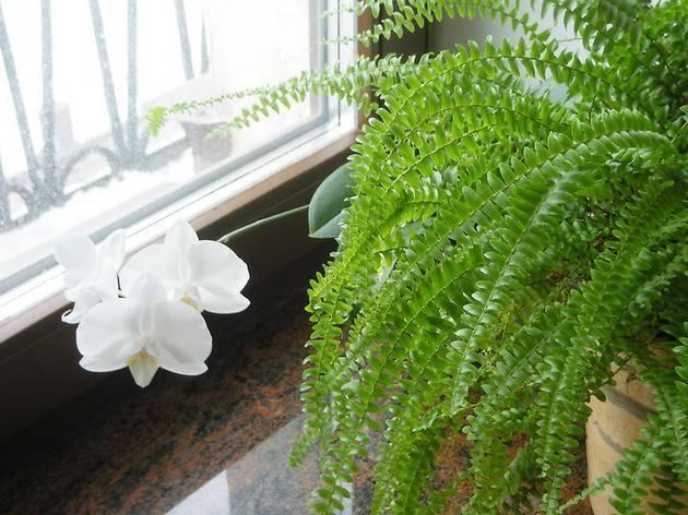 Папоротник комнатный: описание, особенности выращивания и ухода - sadovnikam.ru