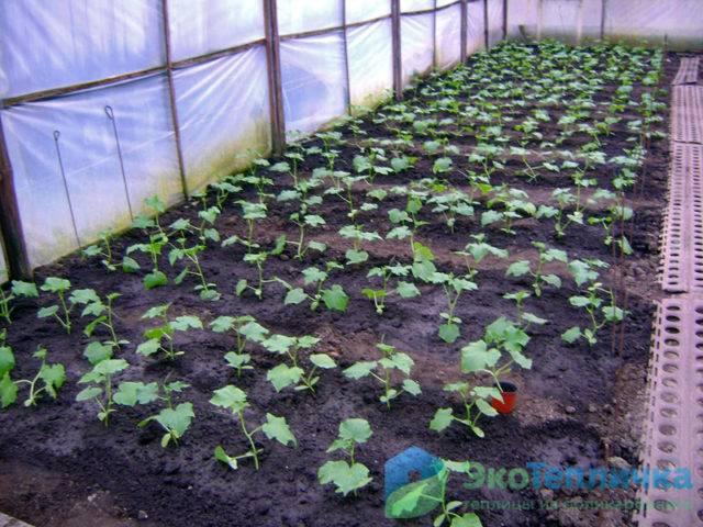 Выращивание огурцов зимой в теплице: технология, освещение и требования к зимней теплице из поликарбоната