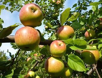 Яблоня мартовское: описание, фото, отзывы