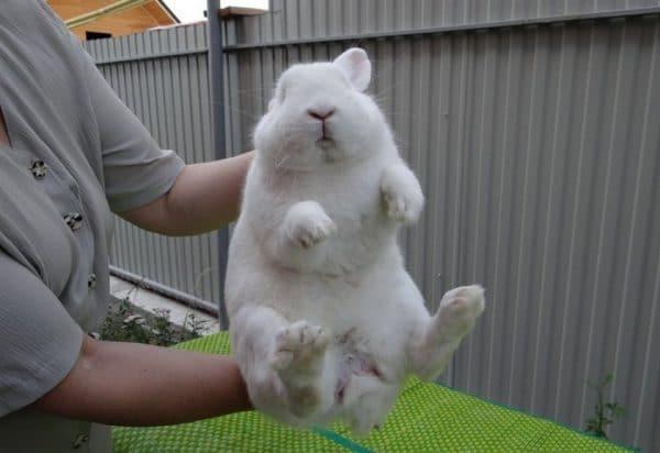 Во сколько месяцев появляются яйца у кроликов. разбираемся, как определить пол кролику: половые признаки, инструкции по осмотру. определяем пол у взрослых кролей - новая медицина