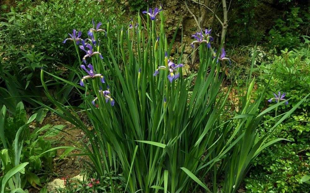 Август – время пересаживать ирисы в саду