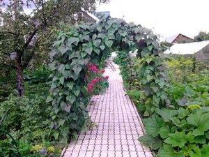 Декоративная фасоль: фиолетовая, огненно-красная, вьющаяся, популярные сорта, сроки и правила посадки, выращивание рассады, правила ухода