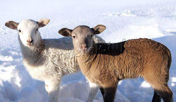 Молодая катумская порода овец: описание вида и мясо-шерстные показатели. 2020