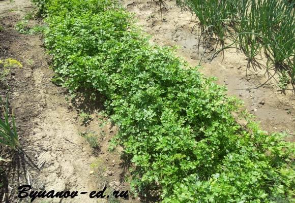 Когда сеять семена петрушки и как быстро прорастить их?