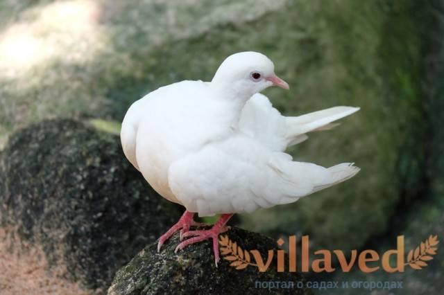 Лекарства для голубей: список эффективных препаратов, стоит ли давать фоспренил, гамавит, лозеваль