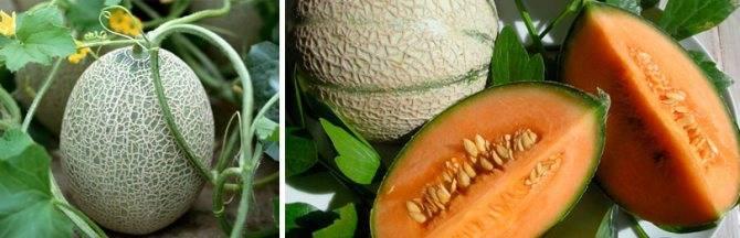 Выращивание арбузов в открытом грунте, в том числе как правильно ухаживать за растениями, а также особенности в украине, забайкалье, башкирии, на кубани и в других регионах