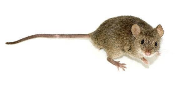 Как вывести мышей с дачного участка раз и навсегда