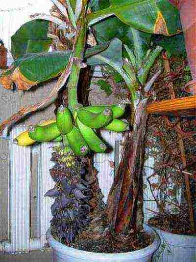 Банан, вкусные правила выращивания и ухода в домашних условиях