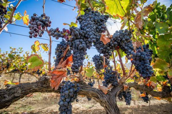 ᐉ черный жемчуг - сорт винограда - roza-zanoza.ru