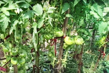 Чем опрыскивать помидоры от болезней и вредителей