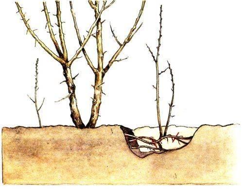 Размножение яблони черенками весной