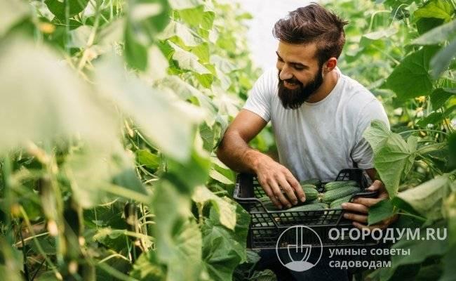 Огурцы лютояр f1: описание сорта и технология выращивания, отзывы и фотографии, посадка и выращивание