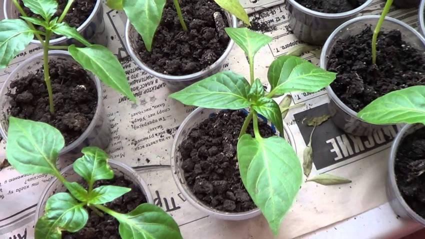 Советы и рекомендации как поливать рассаду перцев: правильная частота и объем полива, различия поливки до и после пикировки, чем полить для хорошего роста