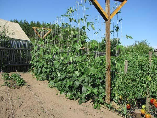 Особенности посадки и выращивания фасоли в открытом грунте