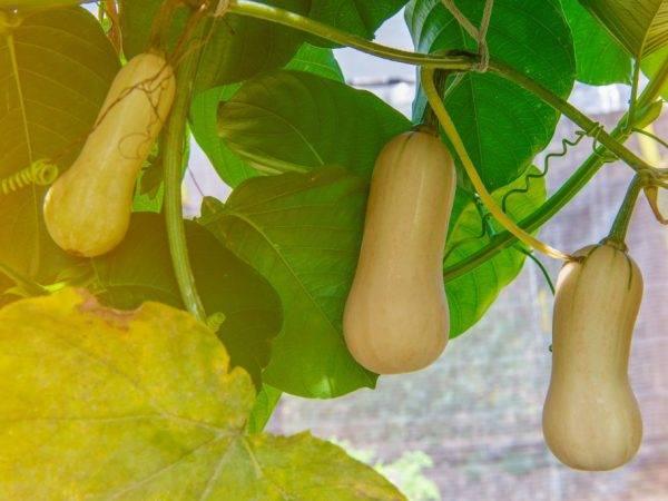Описание сорта тыквы витаминная рекомендации овощеводов