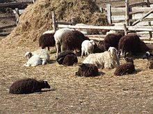 Карачаевская порода овец: описание, характеристики