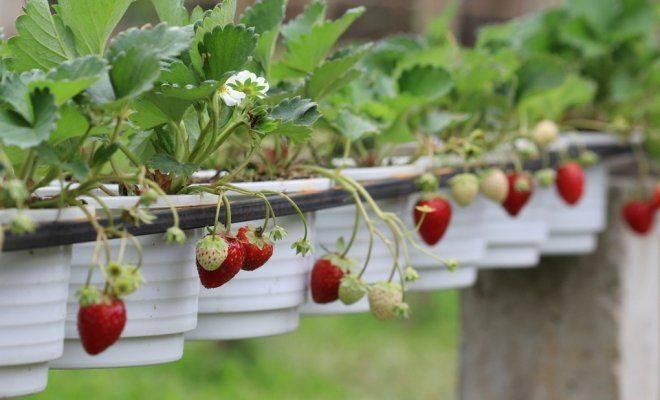 Клубника ампельная: выращивание, лучшие сорта, уход, отзывы, фото, как посадить, ремонтантная, крупноплодная, в домашних условиях
