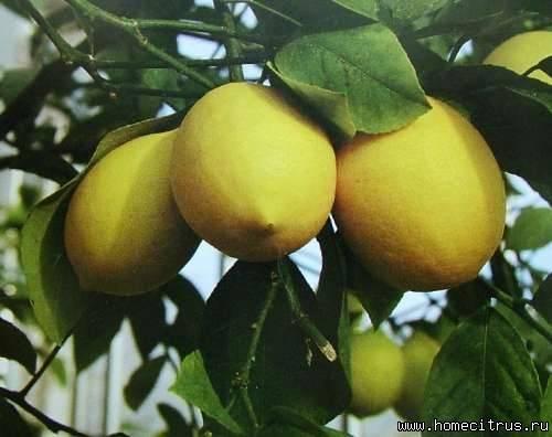 Комнатный лимон. перечень сортов.