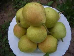 Вкусная груша лада для северного сада
