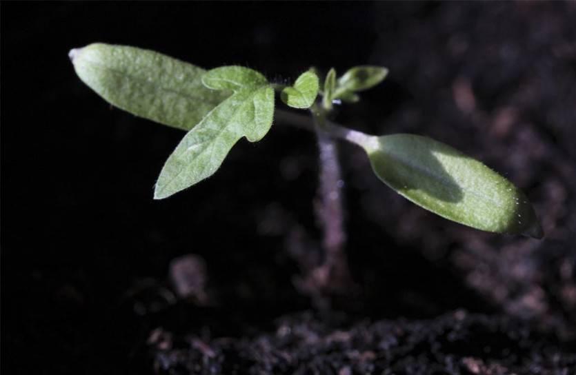Бумага вместо почвы: любопытный способ выращивания рассады помидоров без земли