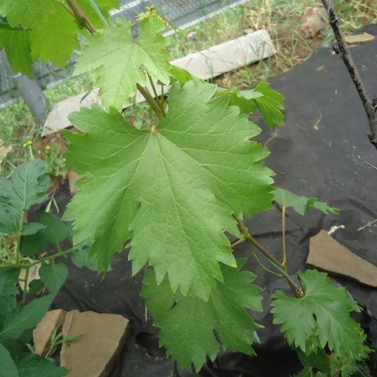 Описание сорта винограда ромбик: фото и отзывы
