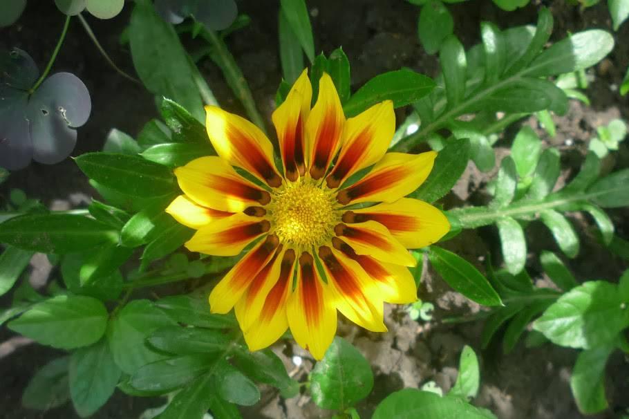 Африканская ромашка — гацания фото и описание сортов, выращивание из семян однолетней и многолетней газании, сочетание цветов на клумбе