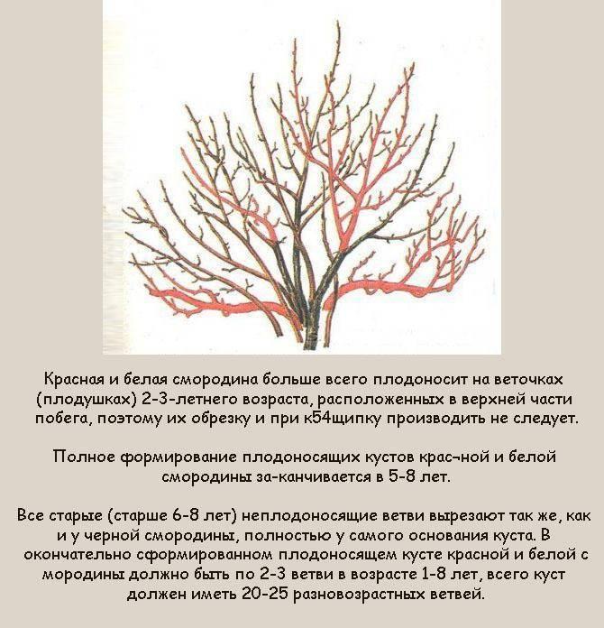 Советы по правильной обрезке смородины осенью и весной