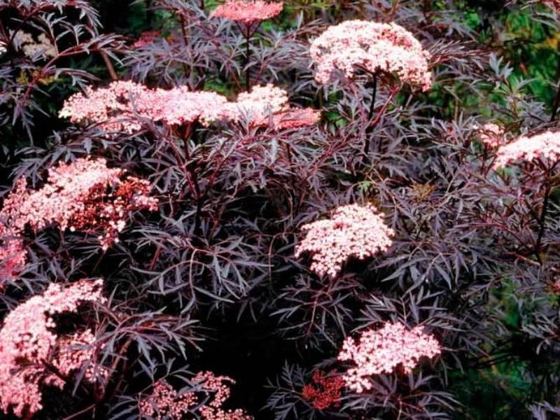 Бузины — сорта и виды красной ядовитой и черной садовой бузины, описание и фото