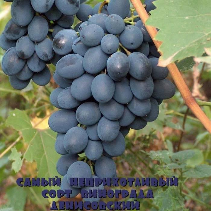 Неукрывные сорта винограда: описание, фото, характеристика