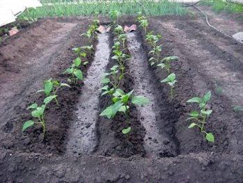 Выращивание баклажанов в открытом грунте и уход за ними